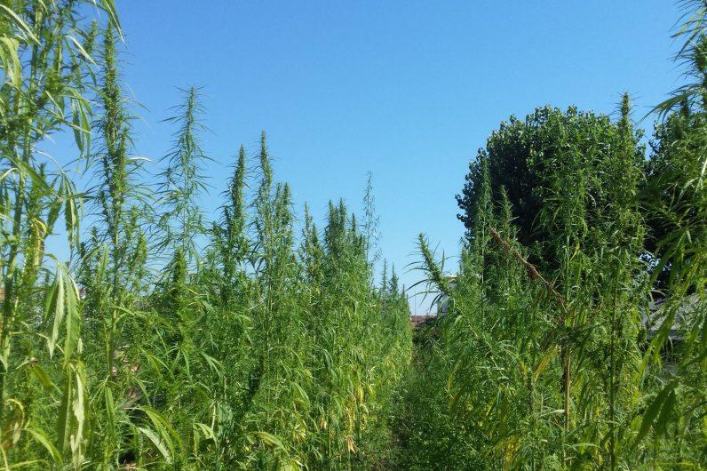 In Versilia si torna a coltivare la canapa